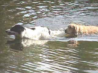 Dogs swimming at Eels Lake Cottages and Marina